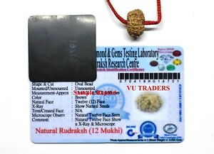 Details about 12 Mukhi Rudraksha / Twelve Face Rudraksh Java Bead Lab  Certified Size 14-16 MM