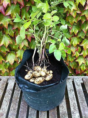 Seed Potatoes 25+ Varieties!! - Certified Irish & Scottish