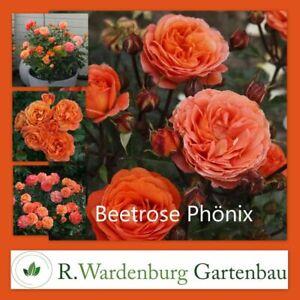 Beetrose Phoenix® orange - 5L Topf