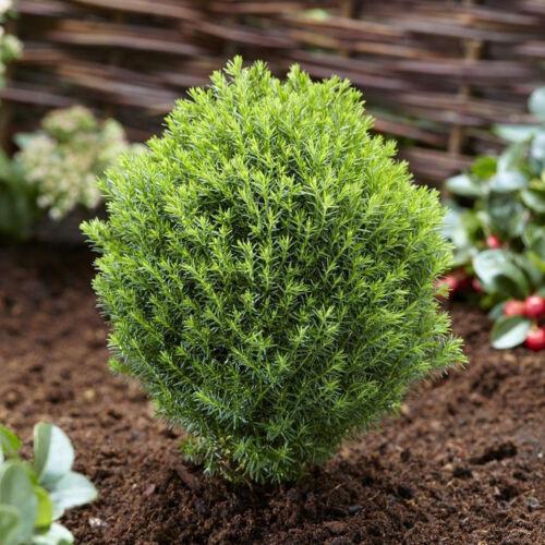 Thuja occidentalis /'Teddy/' White Cedar Evergreen Garden Conifer Plant9cm Pot