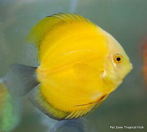 Lemon yellow discus golden lemon beautiful live for The fish 95 5