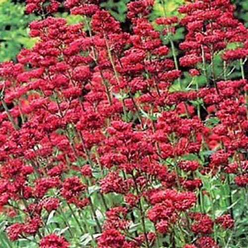 Red Jupiter/'s Beard 50  Seeds