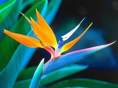 Ultra RARE LEAF LESS ORANGE Bird of PARADISE Tropical LIVE Plant Indoor Outdoor