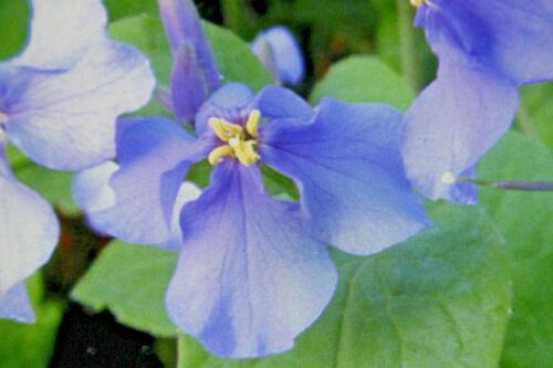 5 Samen japanische Blüternkresse,Orychophragmus violaceus #878