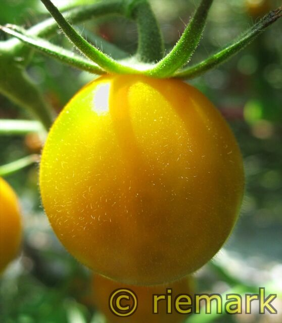 GOLDEN SUNRISE , süße  Salat-Tomate,  hoher Ertrag, 10 Tomatensamen handverlesen