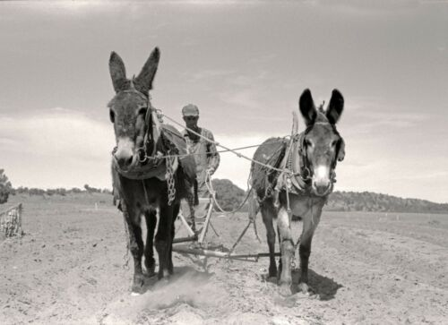 """donkey New Mexico 1939- Plowing 16/""""x11/"""" antique photo Burros Farming"""