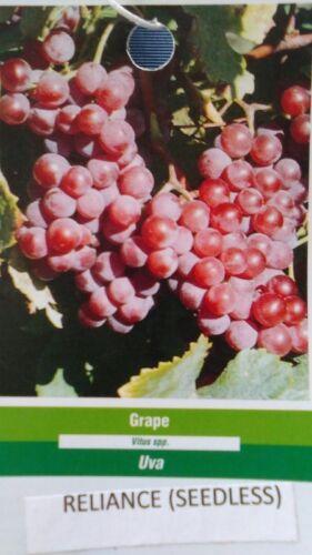 Reliance Seedless Grape 2 Gal Vine Plants Vines Plant Grapes Vineyards Garden