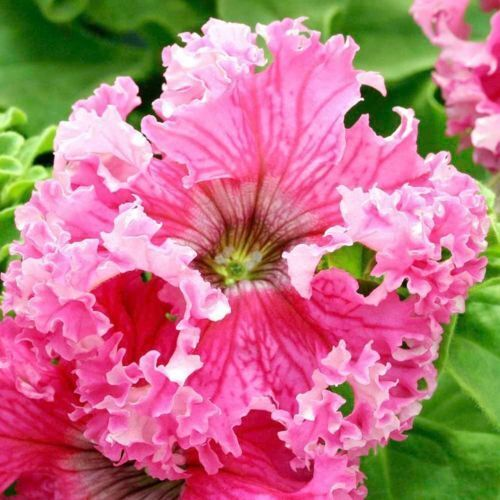 Petunia Seeds Frillytunia Rose frilly tunia 200 BULK SEEDS NON PELLETED SEEDS