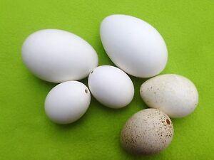 gro e g nseeier puteneier enteneier natureier echte eier osterdeko ostereier ebay. Black Bedroom Furniture Sets. Home Design Ideas