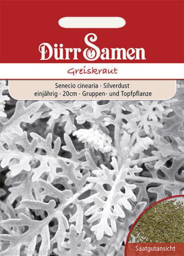 Giurassico crauti Argento Foglio Senecio cinearia Silverdust ca 100 Korn seeds Inverno