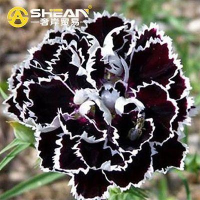 50 Pcs Black Carnation Garden Plants Rose Dianthus Caryophyllus Flower Seeds