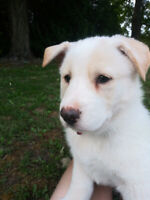 Border Collie Puppies Kijiji In Ontario Buy Sell Save With Canada S 1 Local Classifieds