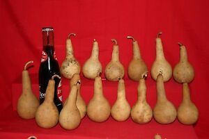 GOURDS 50 MINI DIPPER GOURDS ( DRIED AND CLEANED)