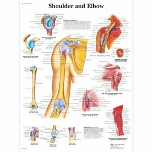 Image Is Loading Shoulder And Elbow Orthopedics Anatomy Poster Anatomical Chart