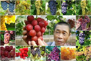 50-Seeds-Mixed-All-Type-Grapes-Extra-Super-Sweet-Bonsai-Fruit-Seeds-Super-Sweet