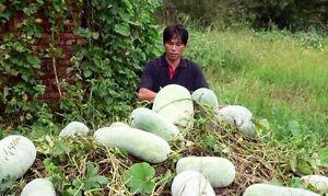 WAX-GOURD-Winter-Melon-White-Ash-Benincasa-Hispida-Vegetable-Seeds