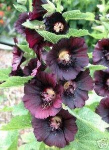 Image Is Loading Alcea Rosea Nigra Black Hollyhock Seeds