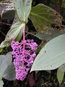 Medinilla crassata cummingii exotic chandelier plant rare image is loading medinilla crassata cummingii exotic chandelier plant rare seeds aloadofball Choice Image