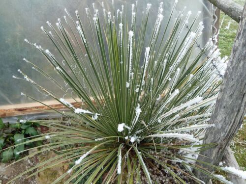 10 fresh seeds Hardiest Yucca In The World! Soapweed Yucca Yucca Glauca