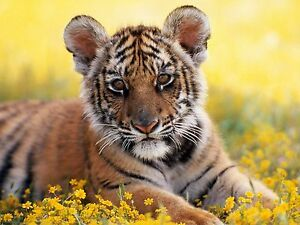 Cute tiger cub photo picture print 19x13 inch fine art print ready image is loading cute tiger cub photo picture print 19x13 inch thecheapjerseys Image collections