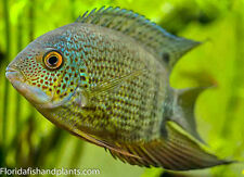 (1 Red spot Turqouise Severum 1.25 inches Live Fish Cichlid Fully Guaranteed