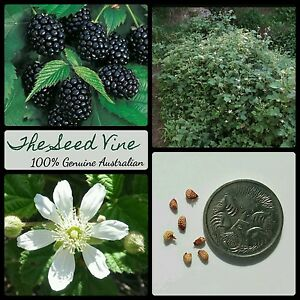 50+ ORGANIC BLACKBERRY SEEDS (Rubus ursinus) Edible California Berry Medicinal