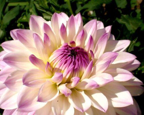 Colour Purple-Yellow Dahlia Seeds 20 Seeds