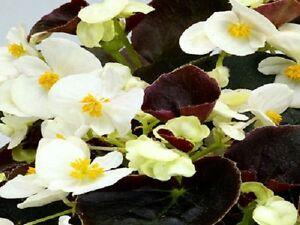 50-Pelleted-Begonia-Seeds-Chocolates-White-BUY-FLOWER-SEEDS
