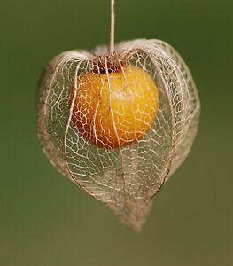 Details about Chinese Lantern EDIBLE GOLDEN BERRY cherries physalis  peruviana berries 25 SEEDS