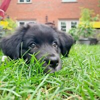 Border Collie Adopt Dogs Puppies Locally In Toronto Gta Kijiji Classifieds