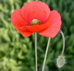1400+ RED POPPY SEEDS American Legion Flower Corn Poppies Papaver Rhoeas