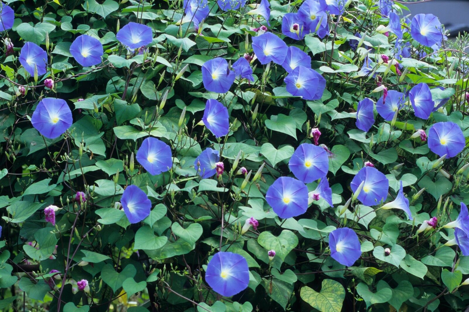 Morning Glory (100 seeds)