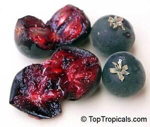 Dovyalis-hebecarpa-Ceylon-Stachelbeere-Ceylon-Gooseberry-10-Samen
