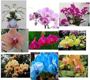 m lange de 30 rares sortes de papillon orchid e graines du phalaenopsis belle ebay. Black Bedroom Furniture Sets. Home Design Ideas