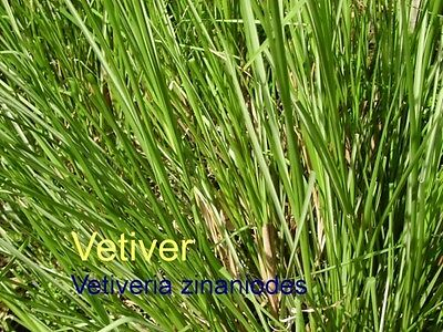 ***Vetiveröl, naturrein (Vetiveria zizanioides) Java, 10ml , Hautpflege/Stress