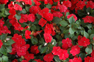 BUSY LIZZIE - BABY SERIES SCARLET - 240 SEEDS - IMPATIENS ...