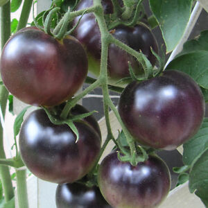 ORGANIC-VEGETABLE-TOMATO-BLACK-CHERRY-60-FINEST-SEEDS