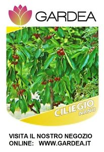Ciliegio nano piante da frutto nane ebay for Piante da frutto nane in vaso