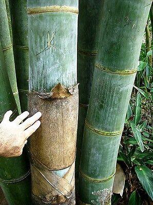 100+ Fresh Giant Bamboo Seeds with instructions - Dendrocalamus Giganteus