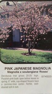 Pink japanese magnolia tree large flowering trees plant landscape image is loading pink japanese magnolia tree large flowering trees plant mightylinksfo