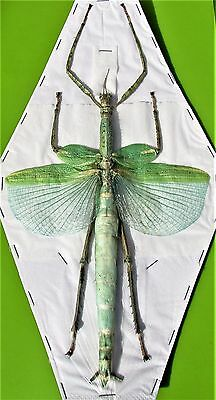 Lot of 5 Huge Winged Stick Bug Eurycnema versirubra Female (Green) Spread FAST