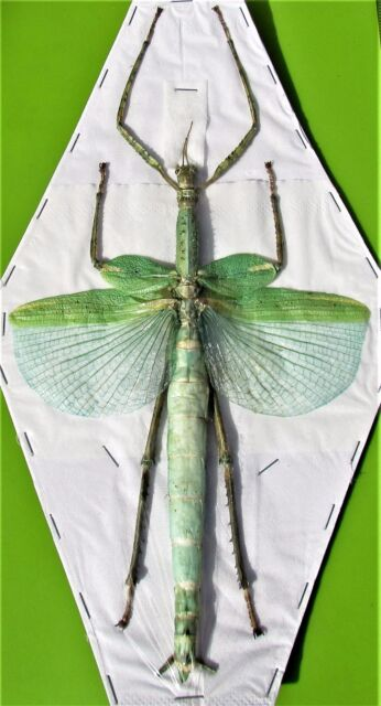 Lot of 5 Huge Winged Stick Bug Eurycnema versirubra Female (Green) Spread FAST