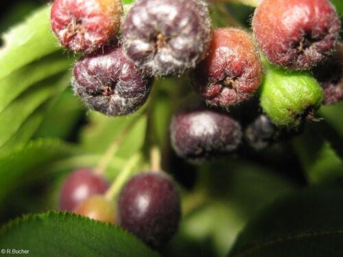 exotische Samen ARONIA winterhart frosthart Obst im Garten Saatgut Obststrauch