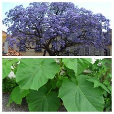 Paulownia Tomentosa - FOXGLOVE TREE - 50 Fresh Seeds - Princess Empress Tree
