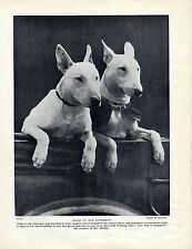 BULL TERRIER DOGS IN CAR ON WAY TO SHOW OLD ORIGINAL DOG PRINT PAGE FROM 1934