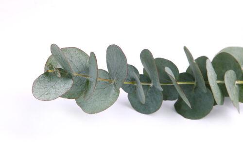 der echte Eukalyptus hat wirklich wunderschöne Blätter und duftet wunderbar !