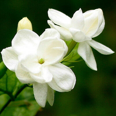 20pcs SEEDS ARABIAN JASMINE JUSMINUM SAMBAC WHITE SHRUB FLOWER SEEDS Multi petal