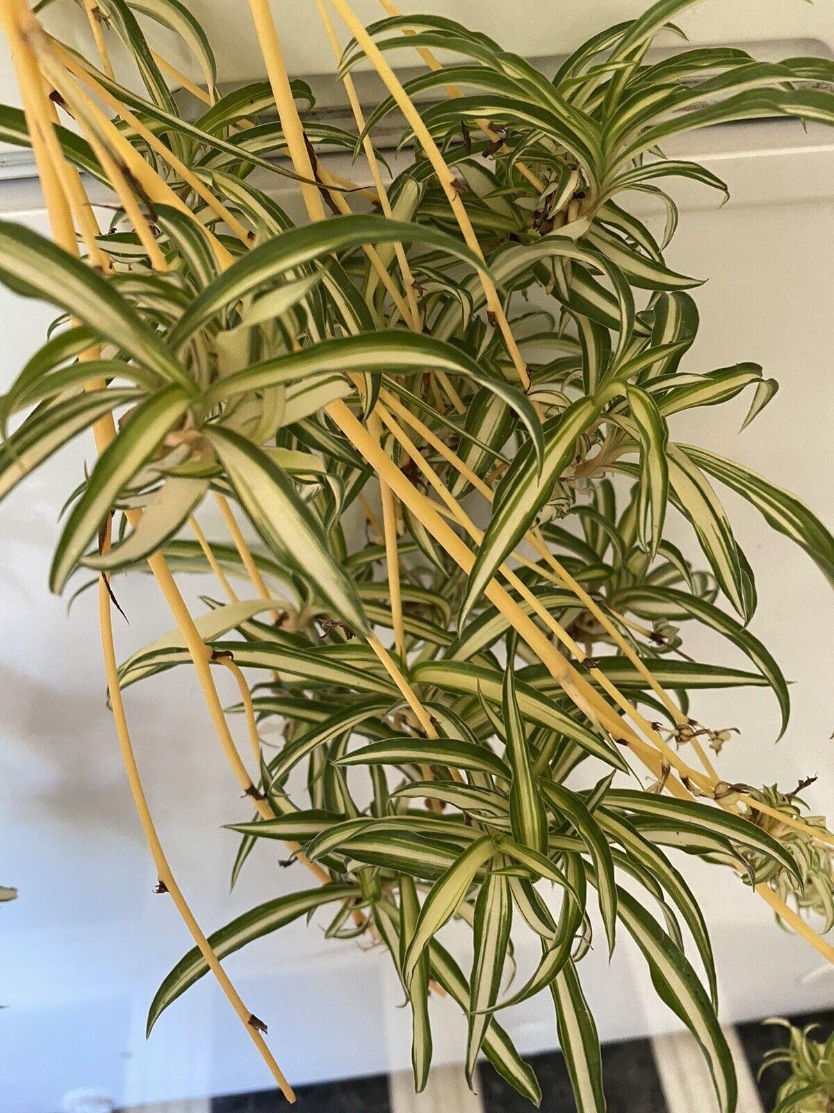 Live Variegated Spider Plant Chlorophytum Comosum Easy To Grow For Sale Online Ebay