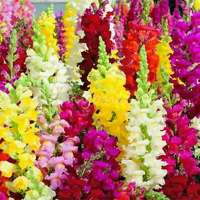 1000 Snapdragon Majus Antirrhinum Seeds Mixed Color Beatiful Flower Garden Plant