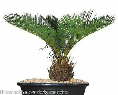 Sago Palm Tree seed Cycas revoluta Seeds! Living Fossil Easy to Grow Gardening